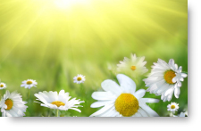 Field of Daisies - background