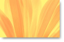 Peach and Yellow Petals - background