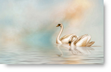 Two Swans on Water - background