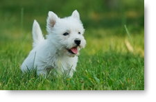 Westie Puppy - background